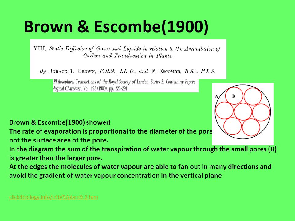 Brown & Escombe(1900) Brown & Escombe(1900) showed