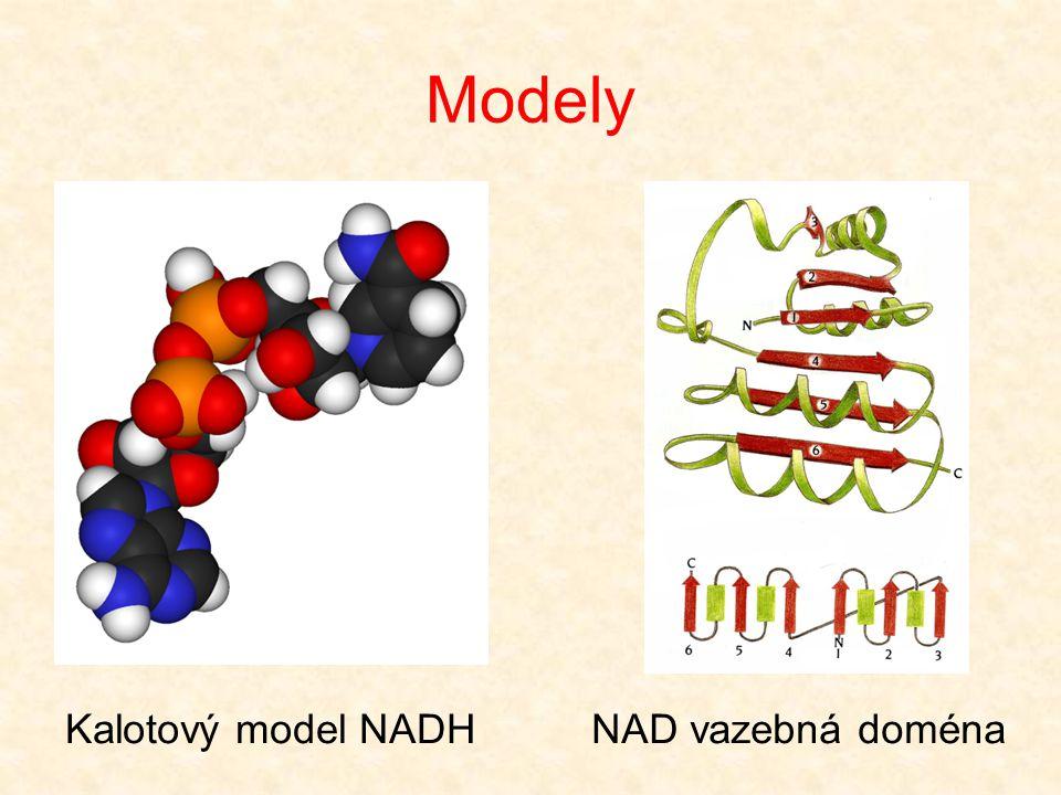 Modely Kalotový model NADH NAD vazebná doména