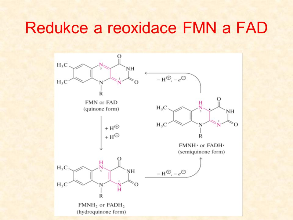 Redukce a reoxidace FMN a FAD