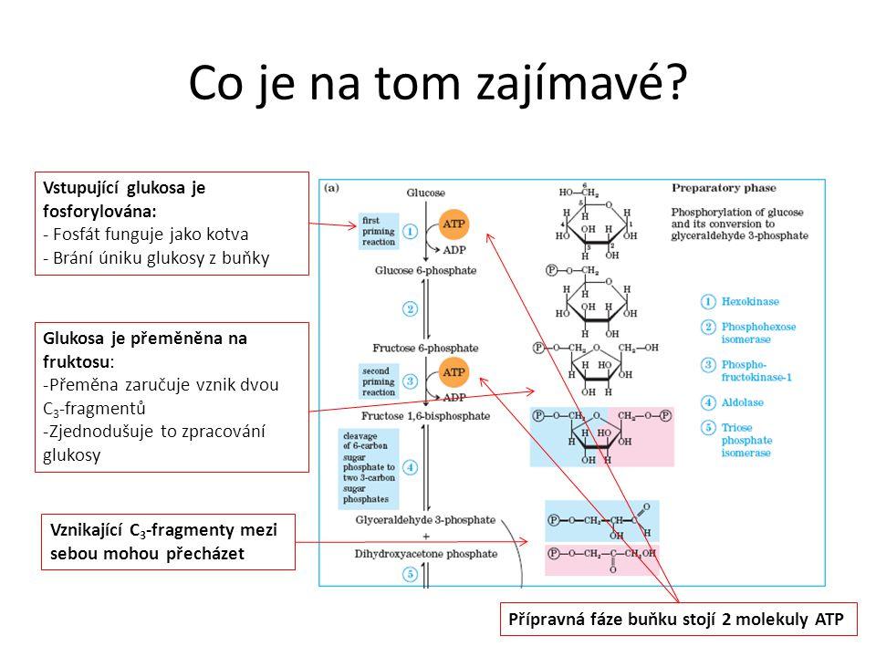 Co je na tom zajímavé Vstupující glukosa je fosforylována: