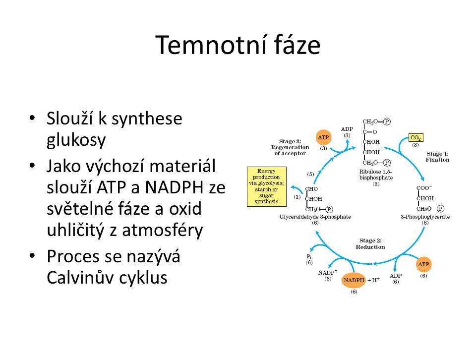 Temnotní fáze Slouží k synthese glukosy