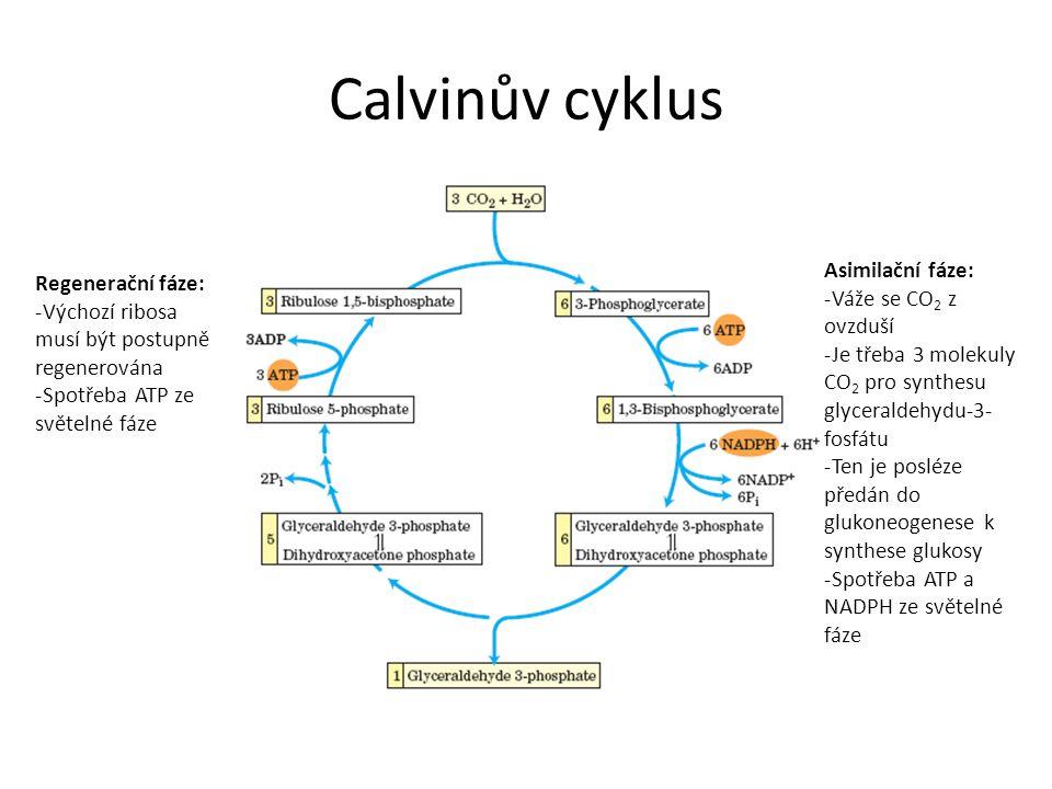 Calvinův cyklus Asimilační fáze: Regenerační fáze: