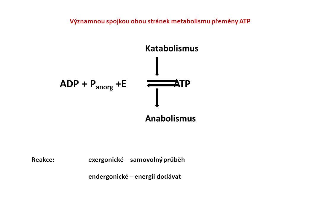 Významnou spojkou obou stránek metabolismu přeměny ATP