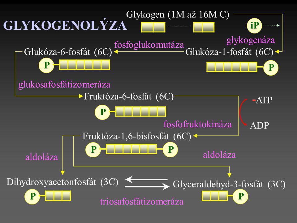 GLYKOGENOLÝZA -ATP Glykogen (1M až 16M C) iP glykogenáza