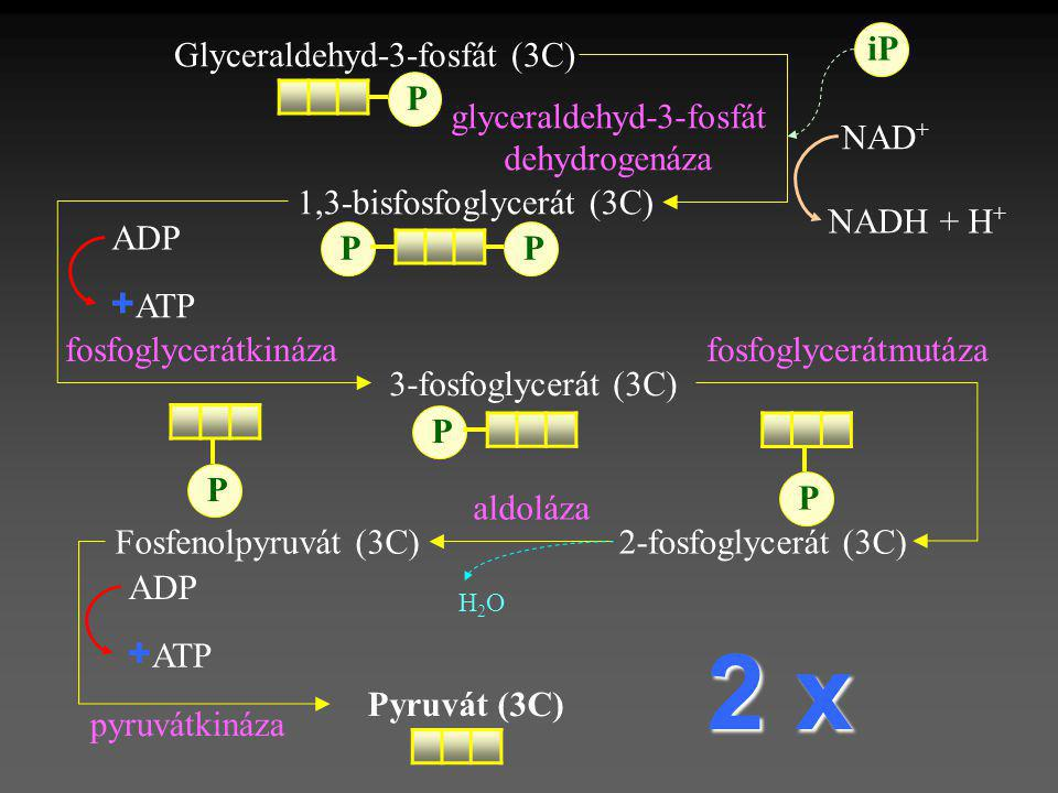 2 x +ATP +ATP iP Glyceraldehyd-3-fosfát (3C) P glyceraldehyd-3-fosfát