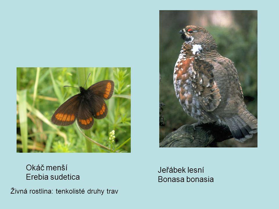 Okáč menší Jeřábek lesní Erebia sudetica Bonasa bonasia