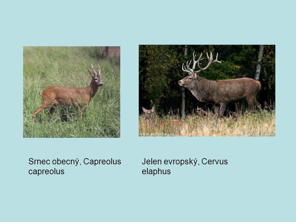 Srnec obecný, Capreolus capreolus