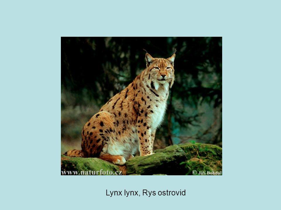Lynx lynx, Rys ostrovid