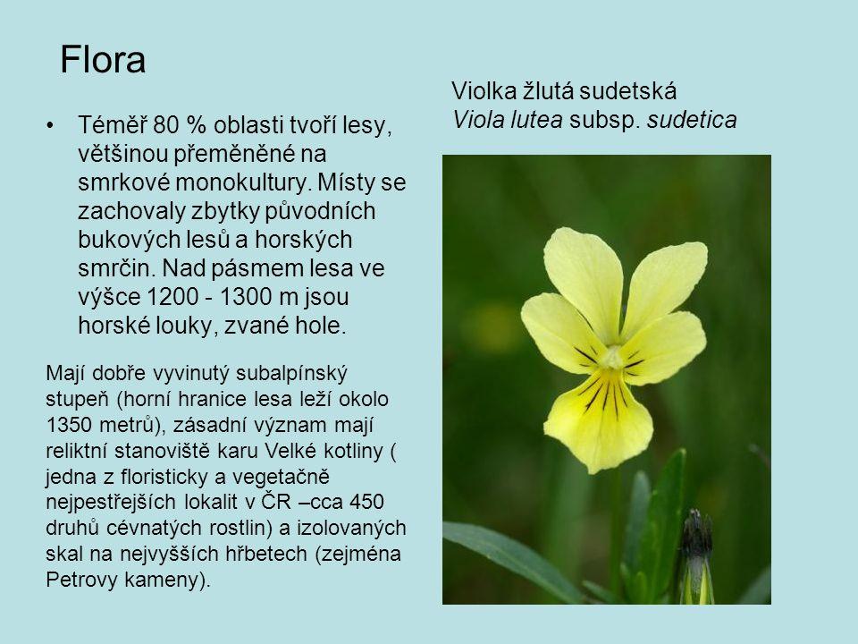 Flora Violka žlutá sudetská Viola lutea subsp. sudetica