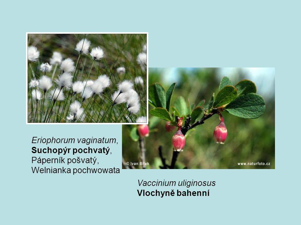 Eriophorum vaginatum, Suchopýr pochvatý, Páperník pošvatý, Welnianka pochwowata. Vaccinium uliginosus.