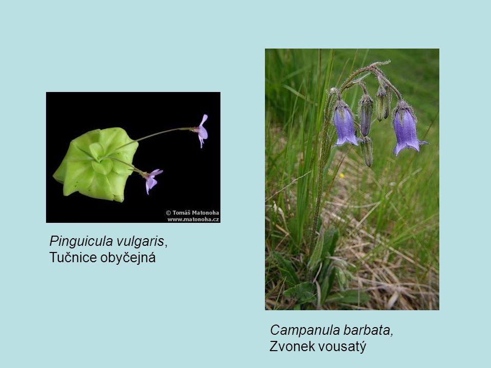 Pinguicula vulgaris, Tučnice obyčejná Campanula barbata, Zvonek vousatý