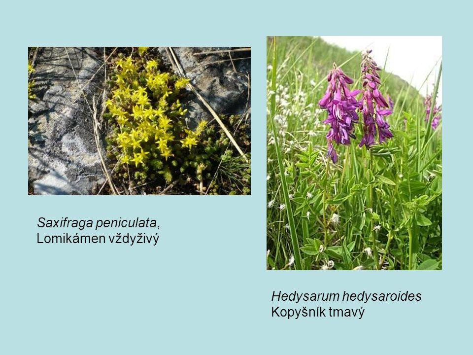 Saxifraga peniculata, Lomikámen vždyživý Hedysarum hedysaroides Kopyšník tmavý