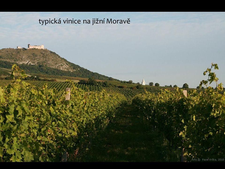 typická vinice na jižní Moravě