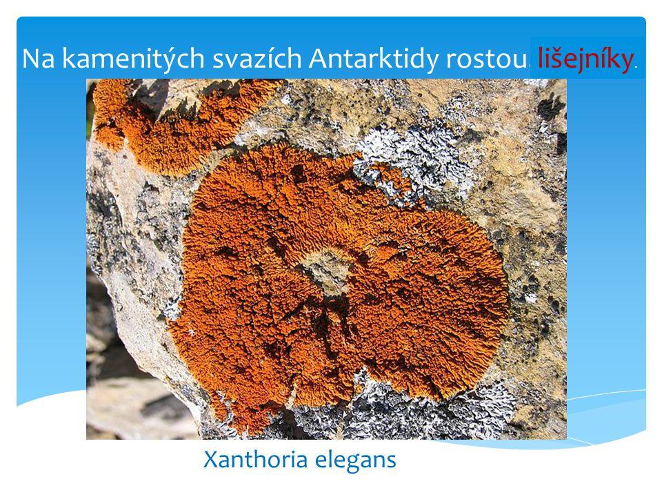 Na kamenitých svazích Antarktidy rostou……......