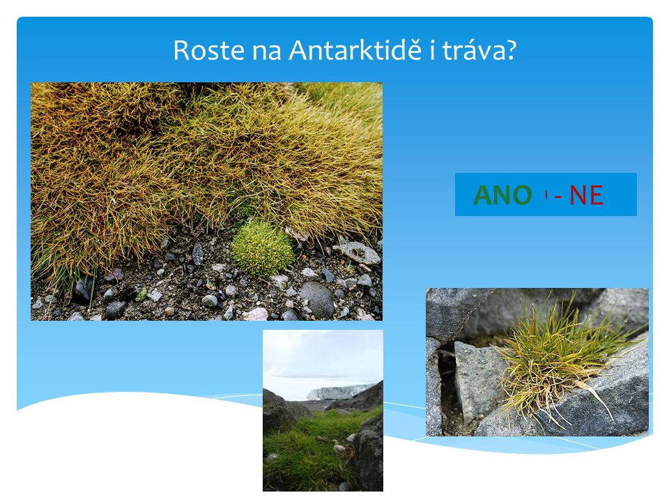 Roste na Antarktidě i tráva