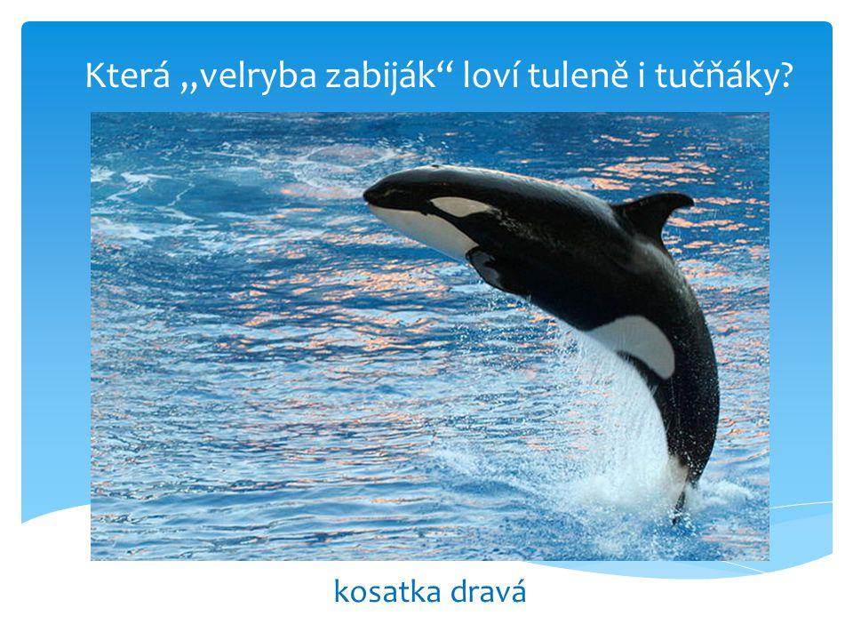 """Která """"velryba zabiják loví tuleně i tučňáky"""