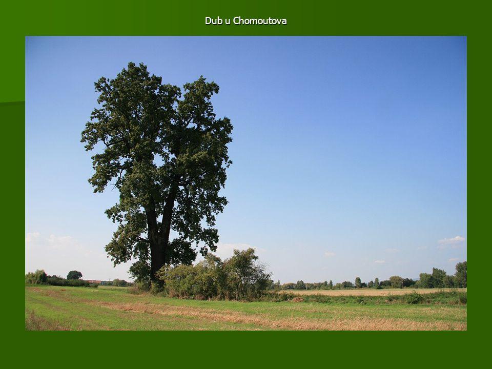 Dub u Chomoutova