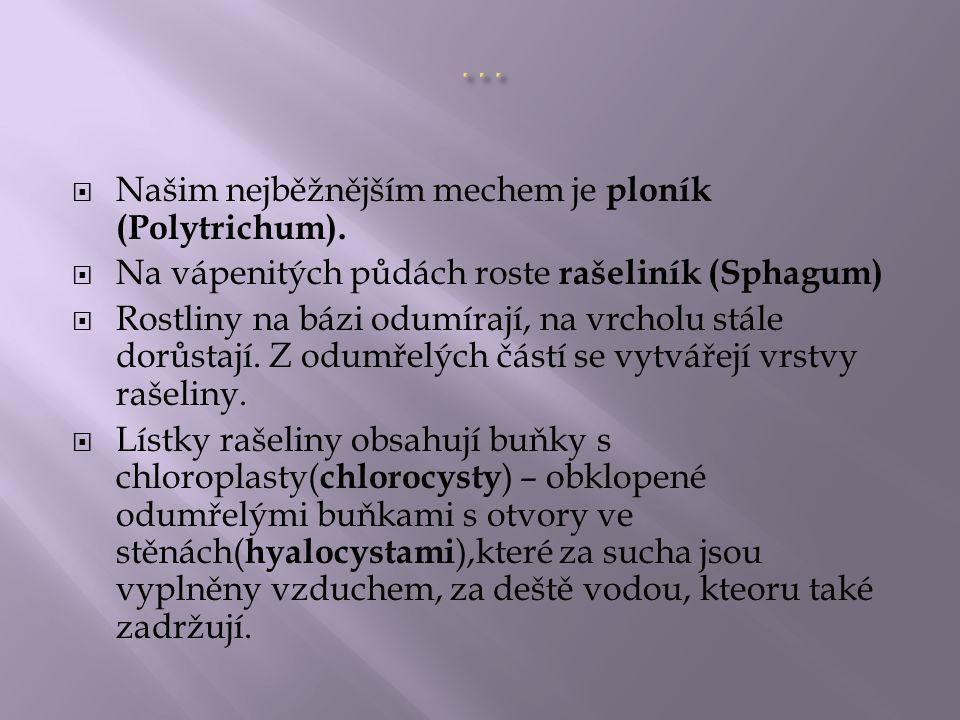 … Našim nejběžnějším mechem je ploník (Polytrichum).