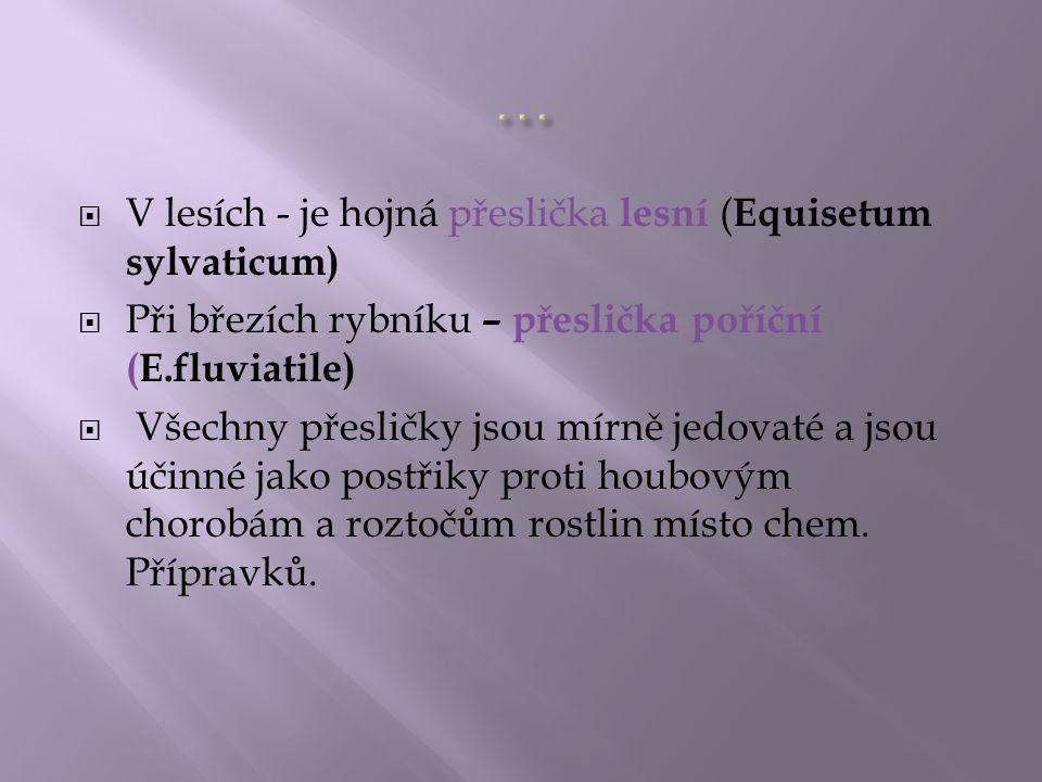 … V lesích - je hojná přeslička lesní (Equisetum sylvaticum)