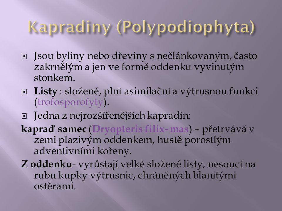 Kapradiny (Polypodiophyta)