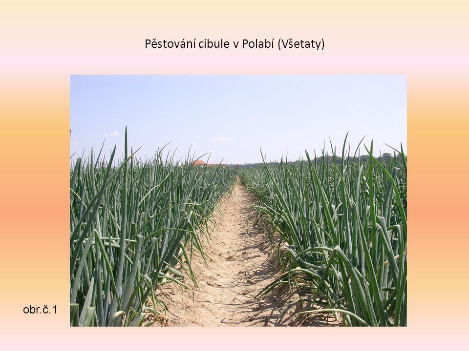 Pěstování cibule v Polabí (Všetaty)