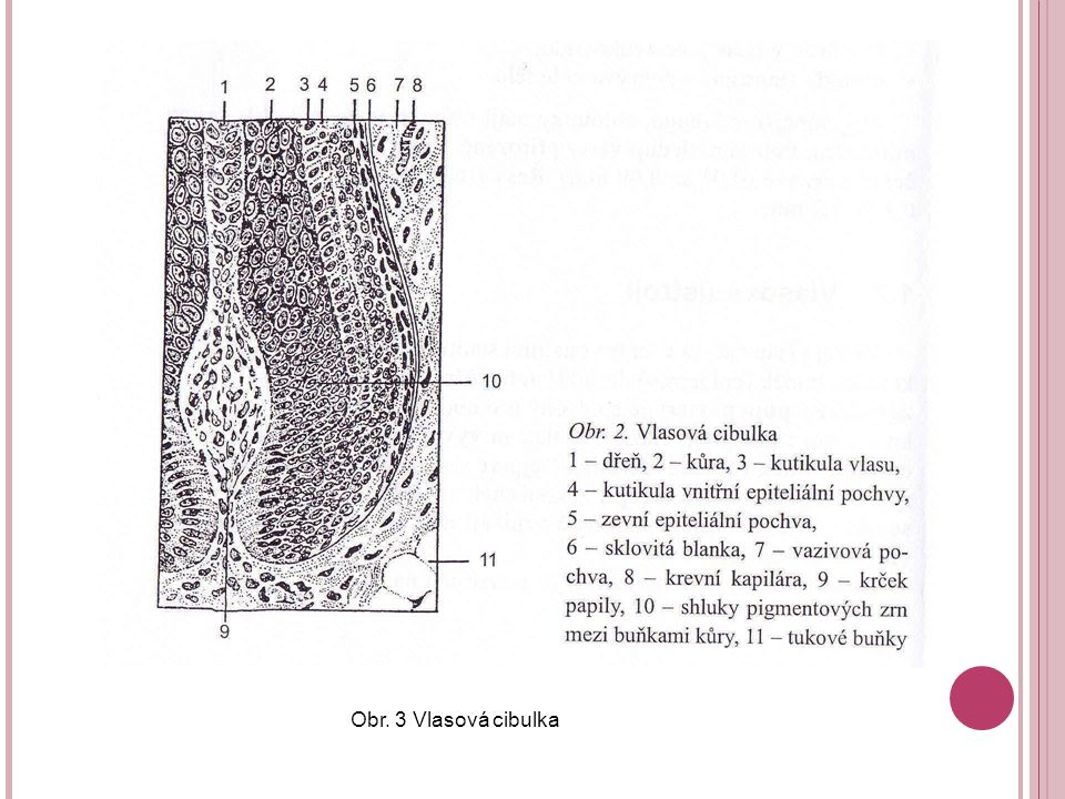 Obr. 3 Vlasová cibulka