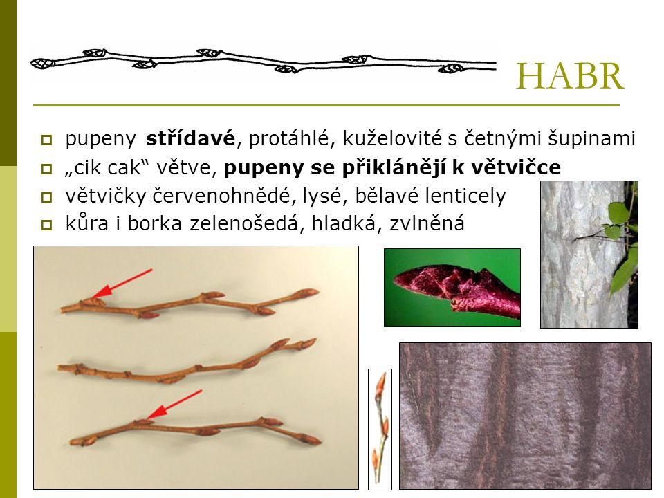 HABR pupeny střídavé, protáhlé, kuželovité s četnými šupinami