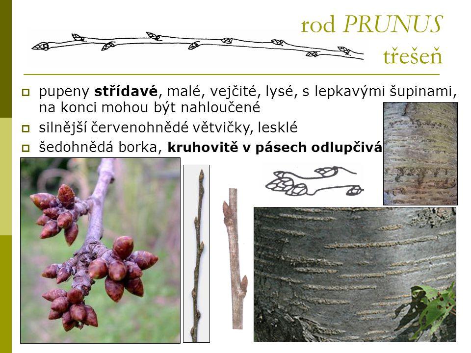 rod PRUNUS třešeň pupeny střídavé, malé, vejčité, lysé, s lepkavými šupinami, na konci mohou být nahloučené.