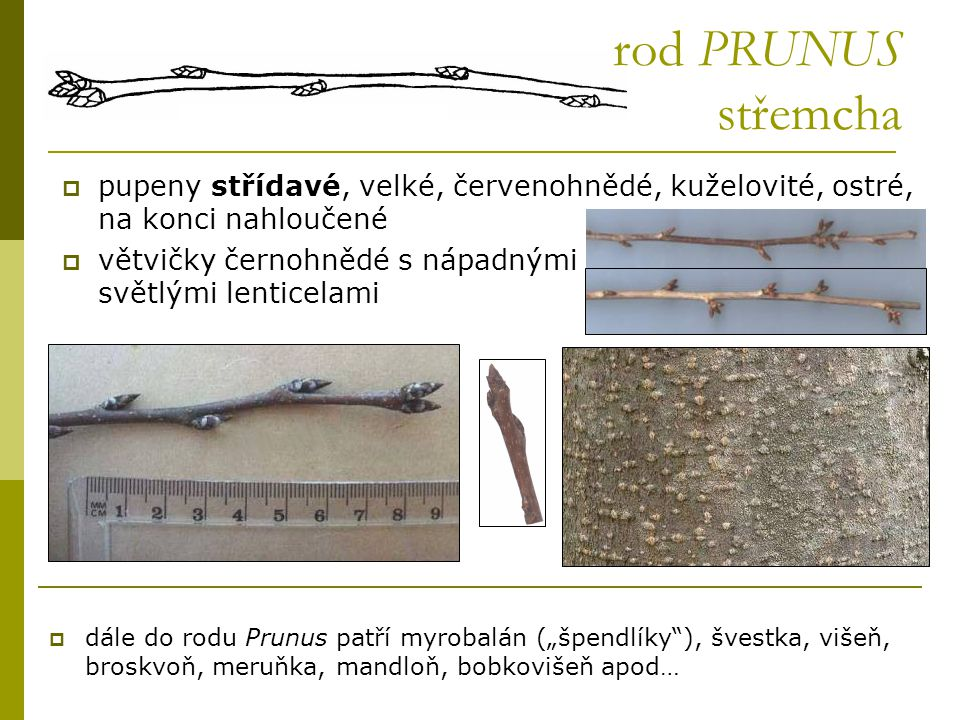 rod PRUNUS střemcha pupeny střídavé, velké, červenohnědé, kuželovité, ostré, na konci nahloučené.
