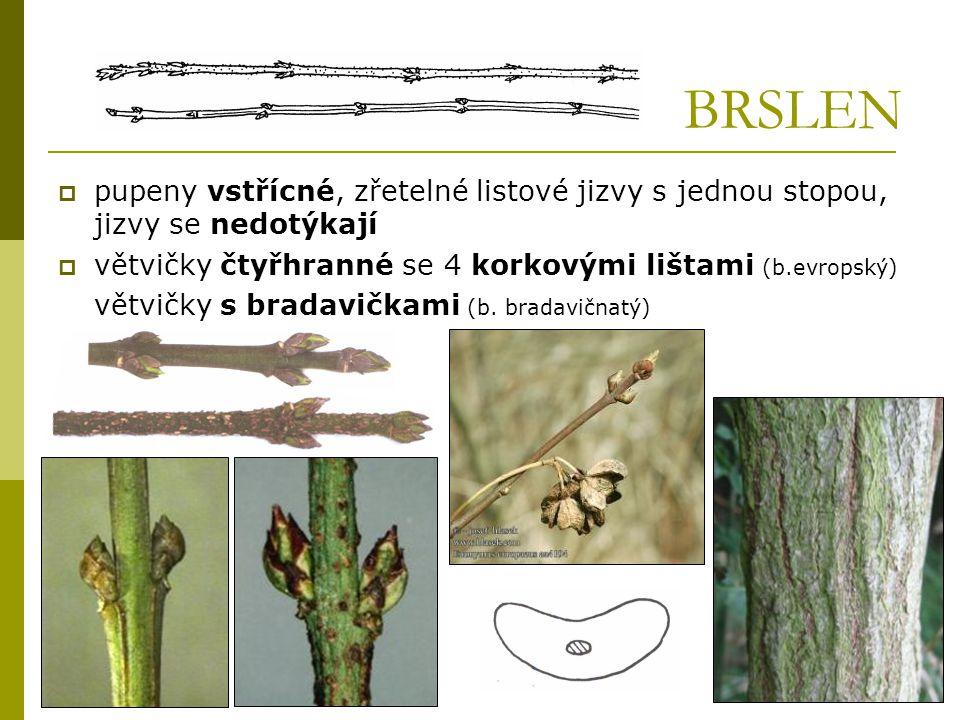 BRSLEN pupeny vstřícné, zřetelné listové jizvy s jednou stopou, jizvy se nedotýkají. větvičky čtyřhranné se 4 korkovými lištami (b.evropský)