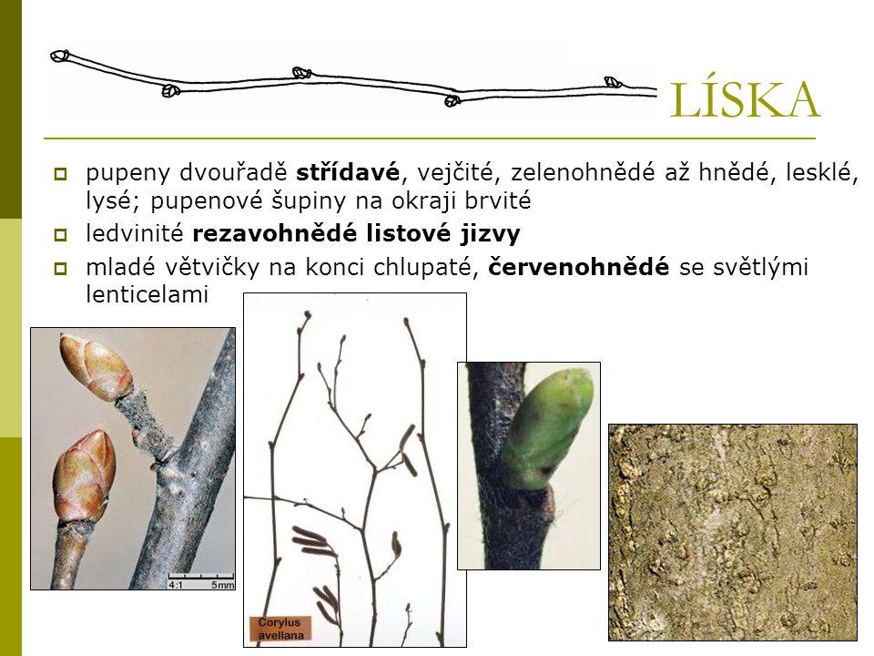 LÍSKA pupeny dvouřadě střídavé, vejčité, zelenohnědé až hnědé, lesklé, lysé; pupenové šupiny na okraji brvité.