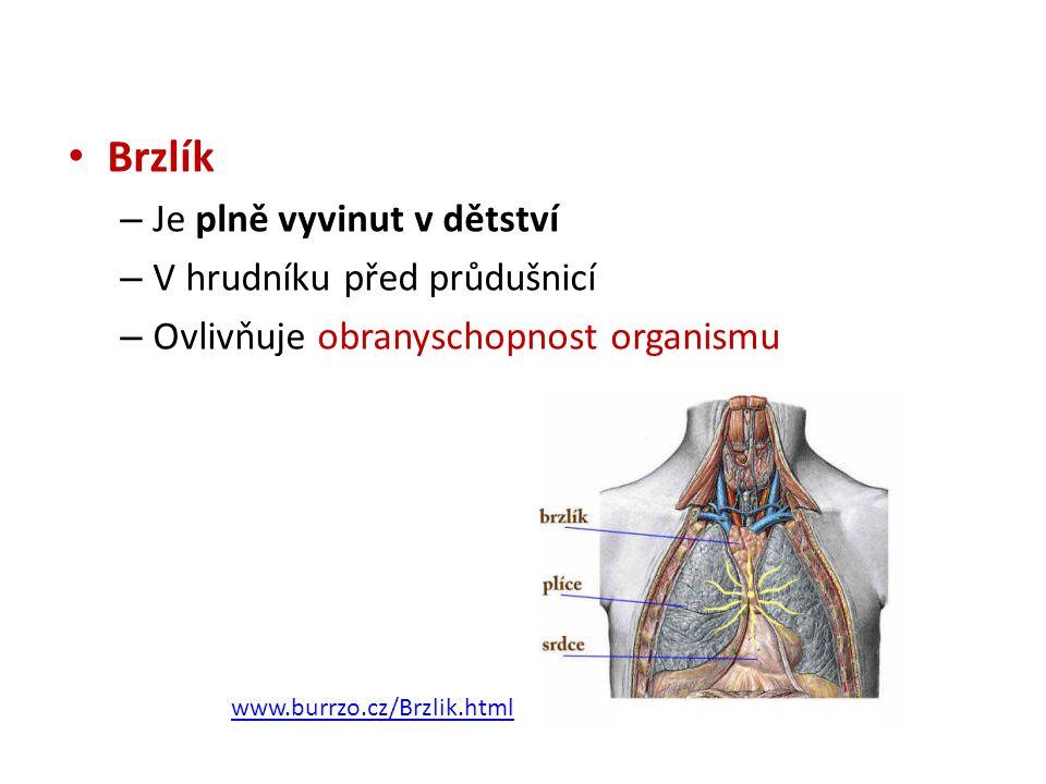 Brzlík Je plně vyvinut v dětství V hrudníku před průdušnicí