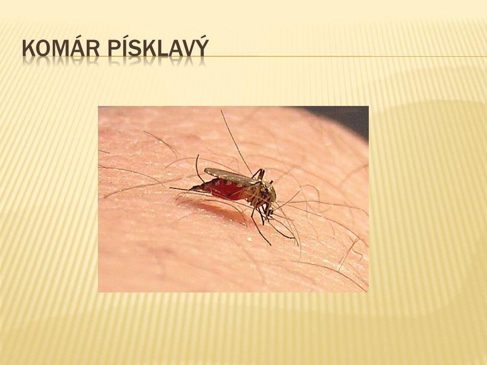 Komár písklavý