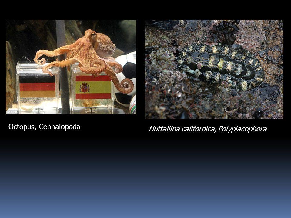 Octopus, Cephalopoda Nuttallina californica, Polyplacophora