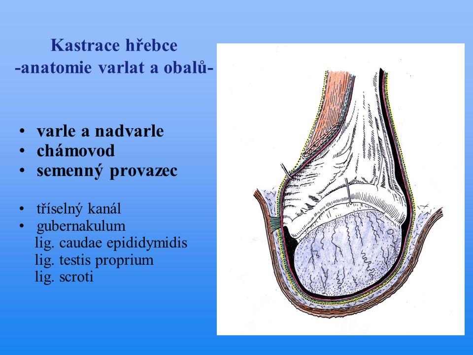 Kastrace hřebce -anatomie varlat a obalů-