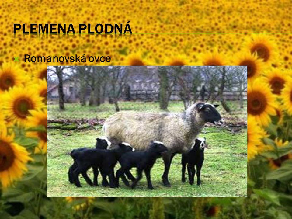Plemena plodná Romanovská ovce