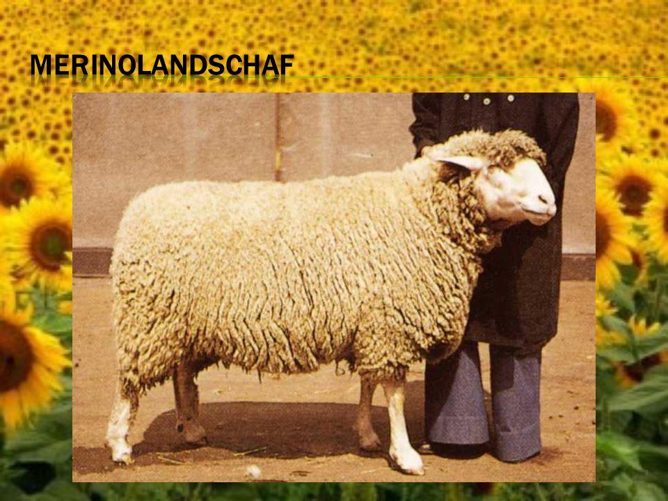 Merinolandschaf