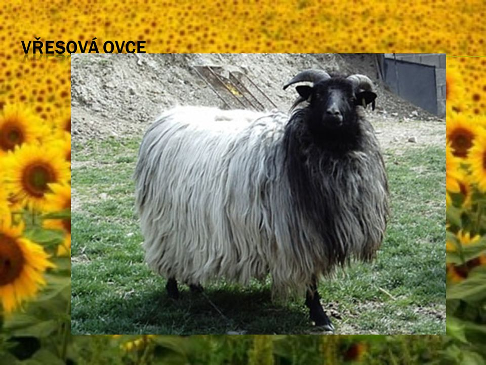 Vřesová ovce