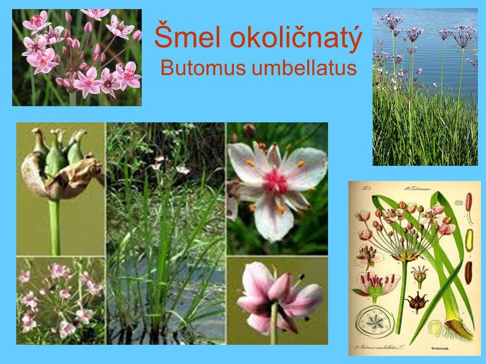Šmel okoličnatý Butomus umbellatus