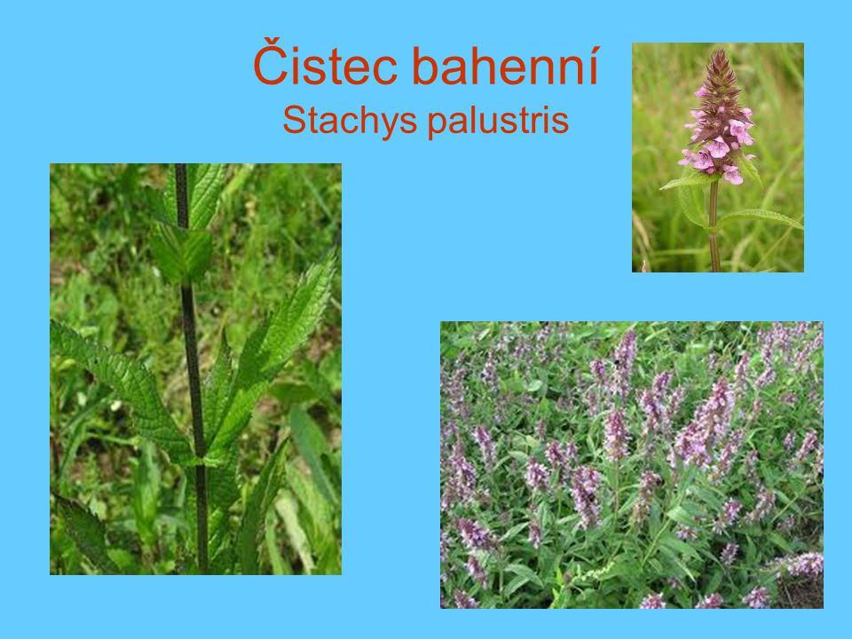 Čistec bahenní Stachys palustris