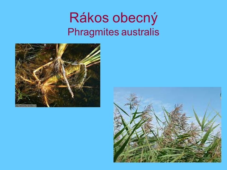 Rákos obecný Phragmites australis