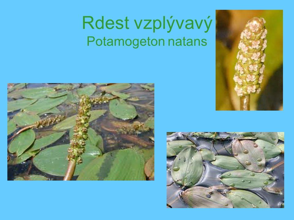 Rdest vzplývavý Potamogeton natans
