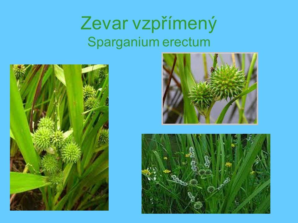 Zevar vzpřímený Sparganium erectum