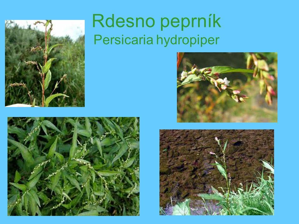 Rdesno peprník Persicaria hydropiper