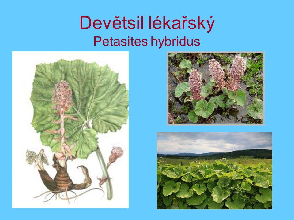 Devětsil lékařský Petasites hybridus