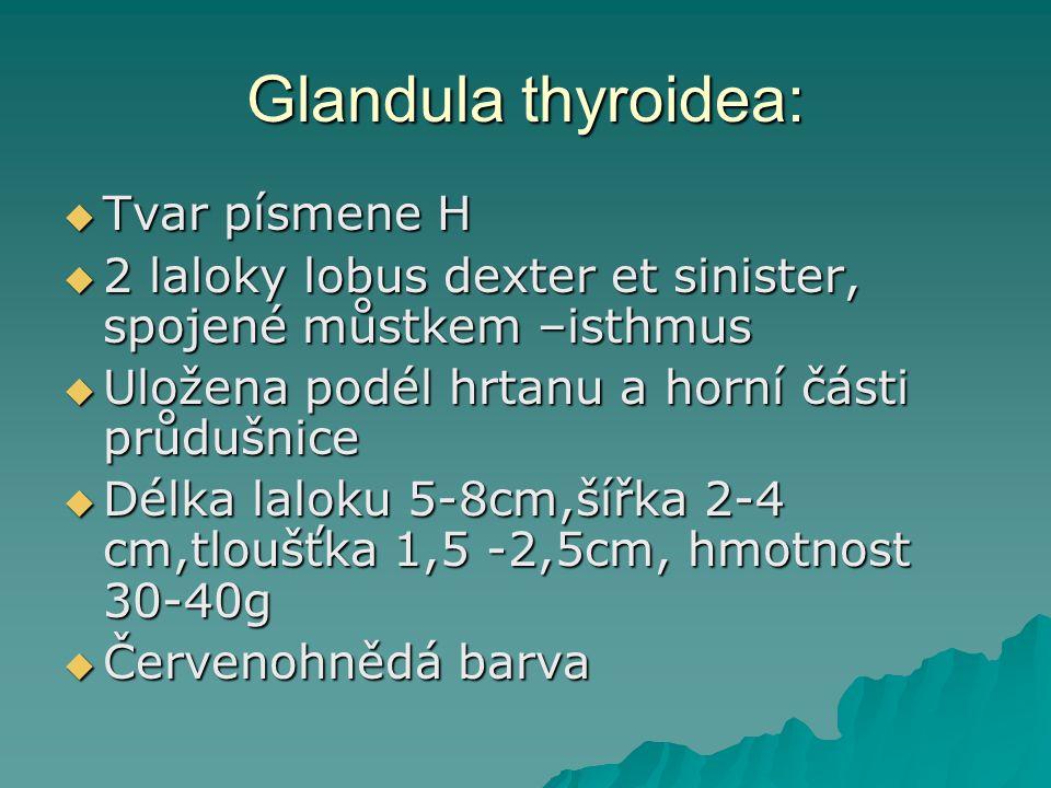 Glandula thyroidea: Tvar písmene H