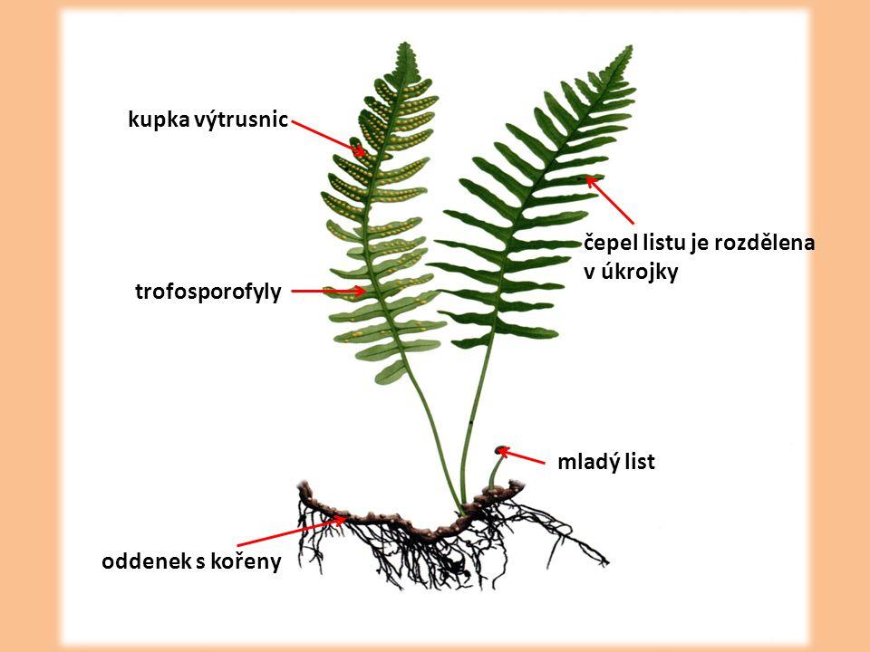 kupka výtrusnic čepel listu je rozdělena v úkrojky trofosporofyly mladý list oddenek s kořeny