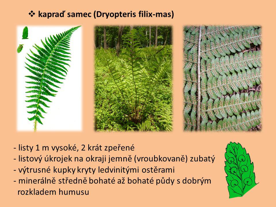 kapraď samec (Dryopteris filix-mas)