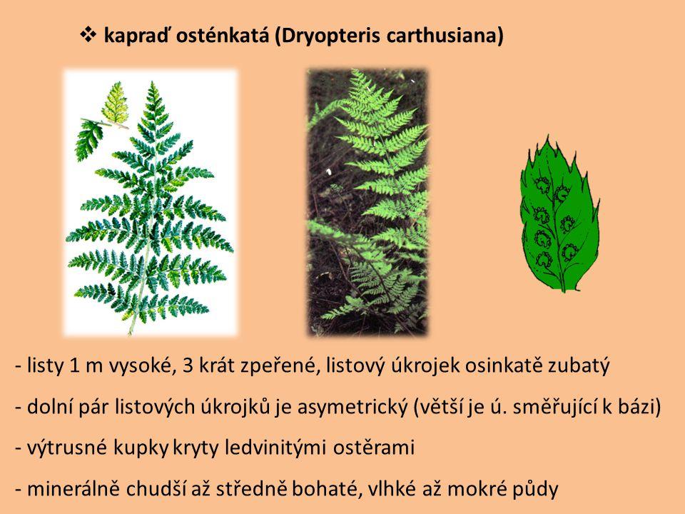 kapraď osténkatá (Dryopteris carthusiana)