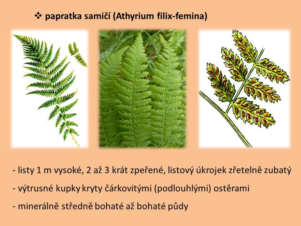 papratka samičí (Athyrium filix-femina)
